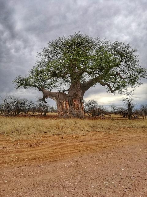 Tikrasis baobabas